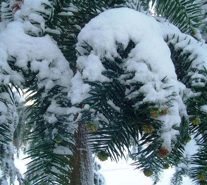 snowy-branch