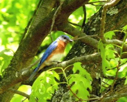 Swann Bluebird 041712 001